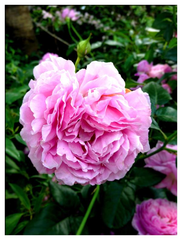 キャス・キッドソンさんに捧げられた薔薇