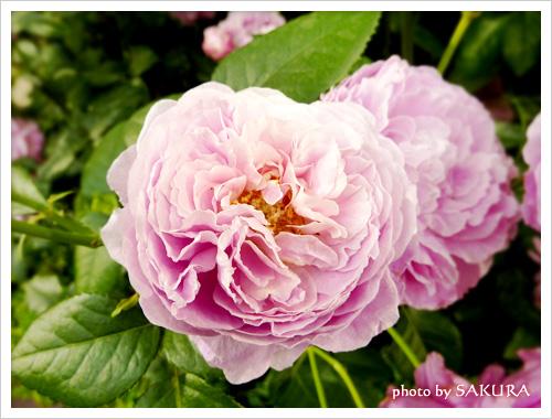キャス・キッドソンさんに捧げられた薔薇「For Your Home」