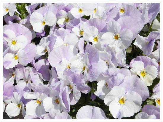 白と薄い紫のビオラ