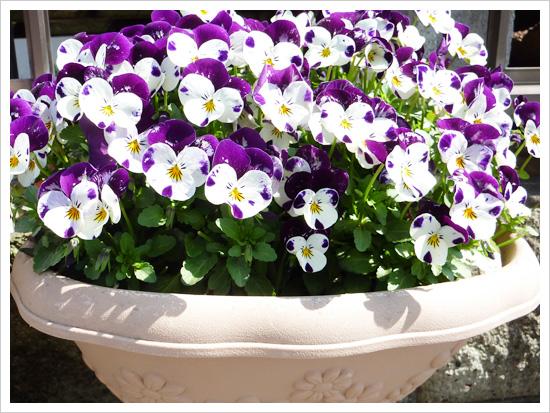 白と紫のビオラ