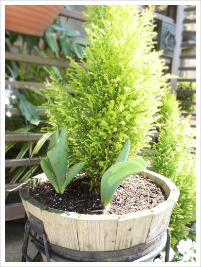 植えておいたチューリップはまだ咲かない