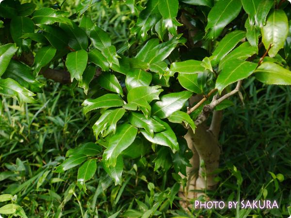 金魚葉椿(開花時期3~4月)