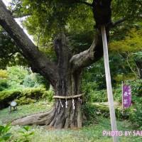 椿山荘新十勝 御神木(椎) 樹齢500年、高さ20m、根本周囲4.5m