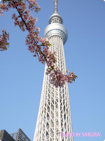 東京スカイツリーと河津桜2