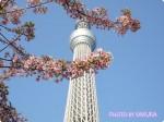 東京スカイツリー+河津桜が一緒に撮れる写真スポットに行ってきた!