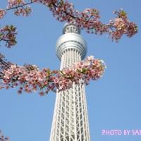 東京スカイツリーと河津桜1