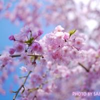 乾門付近の枝垂桜1