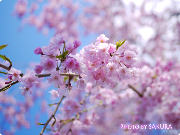 乾門・皇居周辺~千鳥ヶ淵緑道の桜