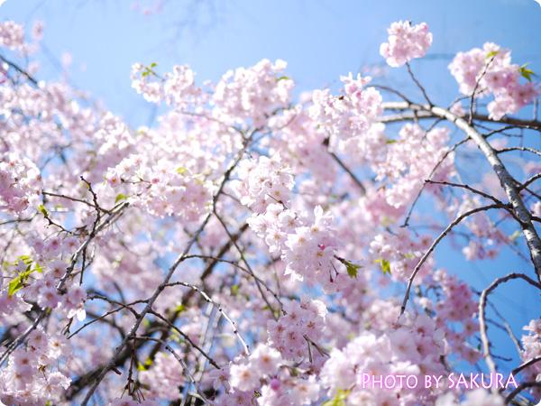 乾門付近の枝垂桜2