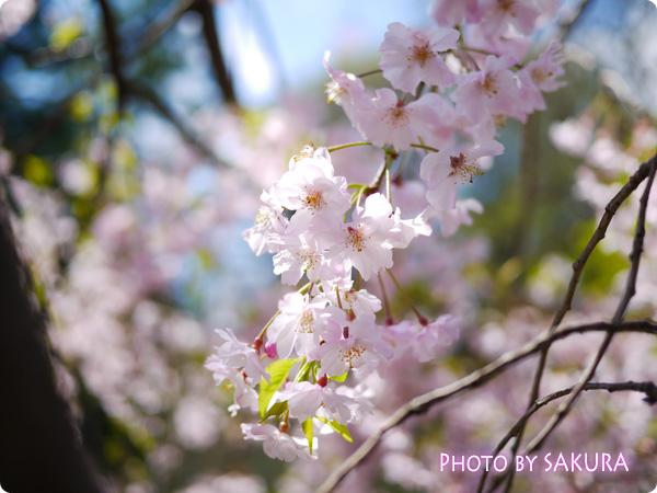 乾門付近の枝垂桜3