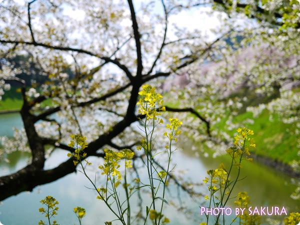 千鳥ヶ淵 菜の花