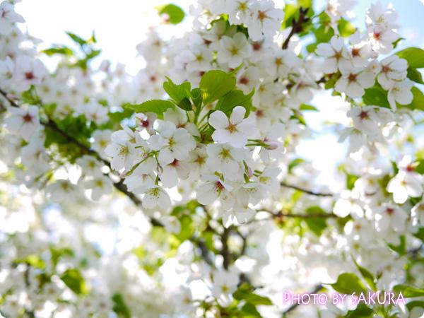 白い桜の花はなんだろう?