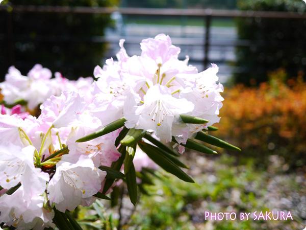 千鳥ヶ淵緑道 のお花 シャクナゲ