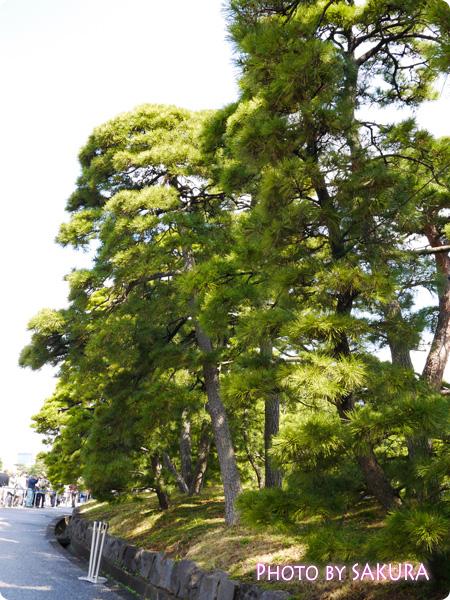 松の木がいっぱい