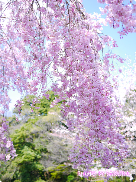 道灌濠の枝垂桜1