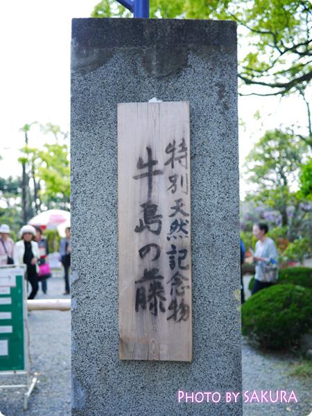 特別天然記念物「牛島の藤」