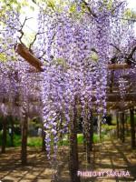 埼玉関東名所の藤の花。特別天然記念物の春日部『牛島の藤』が見ごろ