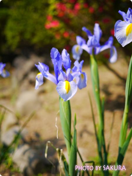 藤花園 カキツバタ1