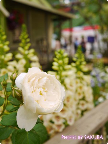 国際バラとガーデニングショウ2014『赤毛のアンの庭』薔薇アップ