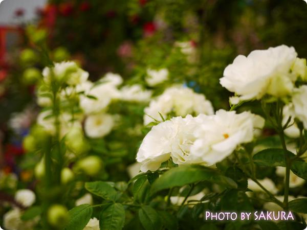第16回国際バラとガーデニングショウ『不思議の国のアリスの庭』薔薇アップ