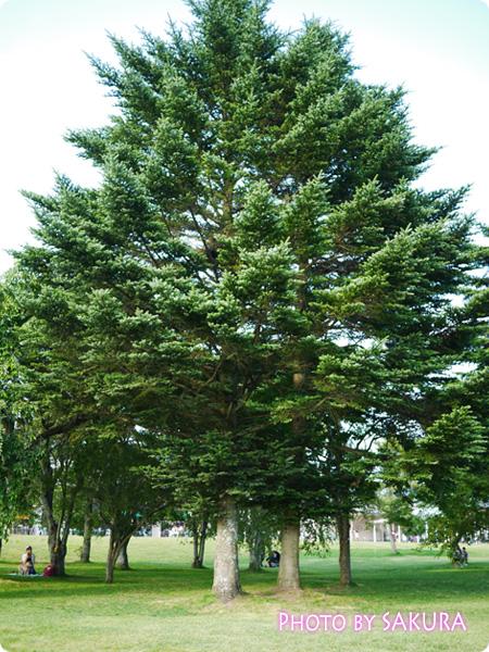軽井沢プリンスショッピングプラザ(軽井沢アウトレット) 芝生のひろばの木