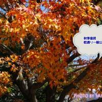 秋季皇居乾通り一般公開で紅葉をみた
