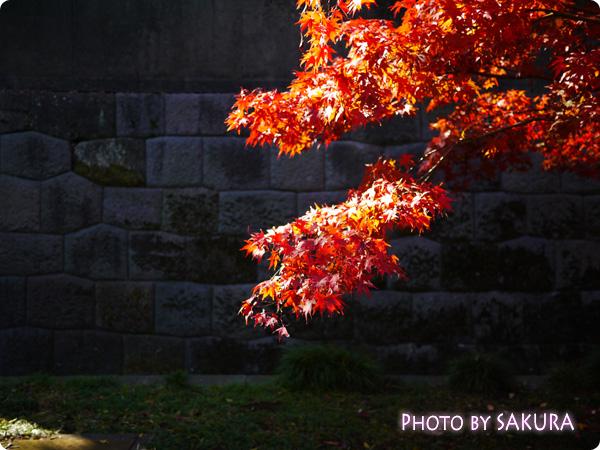 秋季皇居乾通り一般公開 紅葉3