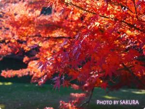 秋季皇居乾通り一般公開 紅葉10 いろはもみじ