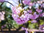 カメラ初心者がミラーレス一眼で新宿御苑の桜2015を撮影してみた