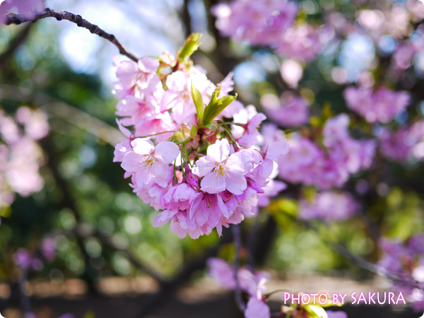 新宿御苑 桜2015 入ってすぐのところに咲いていた桜