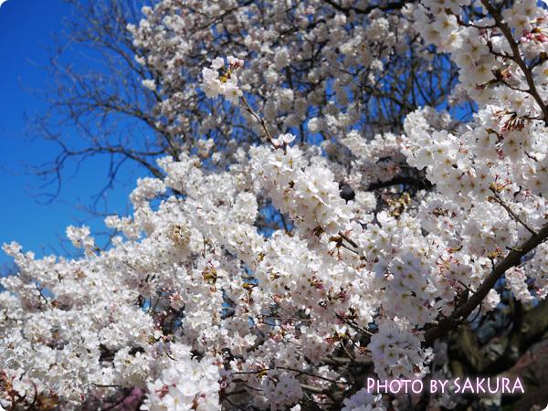 新宿御苑 桜2015 満開の桜の木1