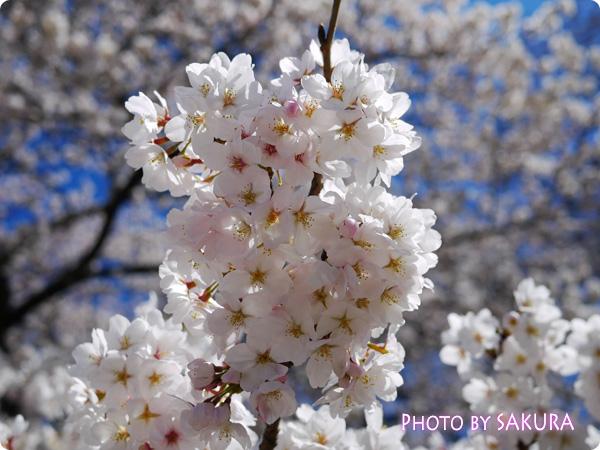 新宿御苑 桜2015 満開の桜の木2