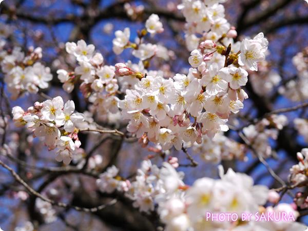 新宿御苑 桜2015 満開の桜の木3