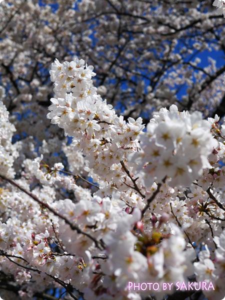 新宿御苑 桜2015 満開の桜の木4