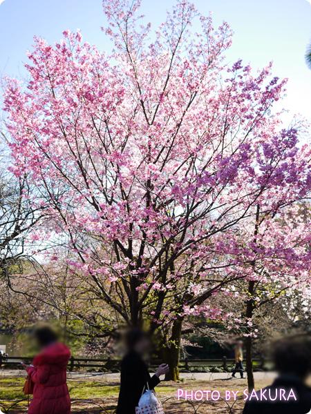 新宿御苑 桜2015 ピンクの桜の木