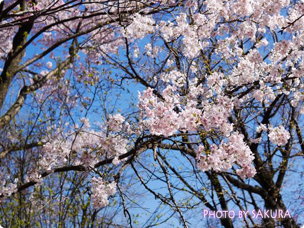 新宿御苑 桜 2015年3月27日撮影