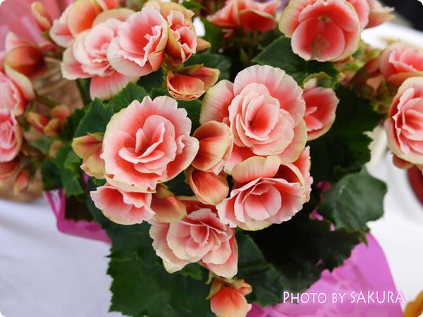 鉢植え「リーガスベゴニア ボリアス~ラグジュアリーな贈り物~」 花のグラデーションが綺麗な「ボリアス」