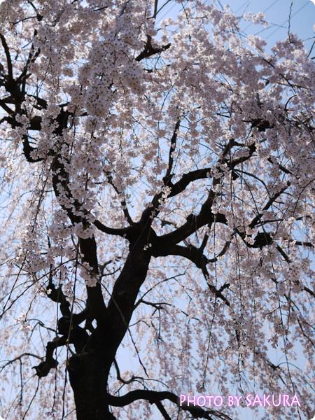 桜 2015/03/30撮影 DMC-GF5 Pモード F3.2 2500 +2/3 ISO-160