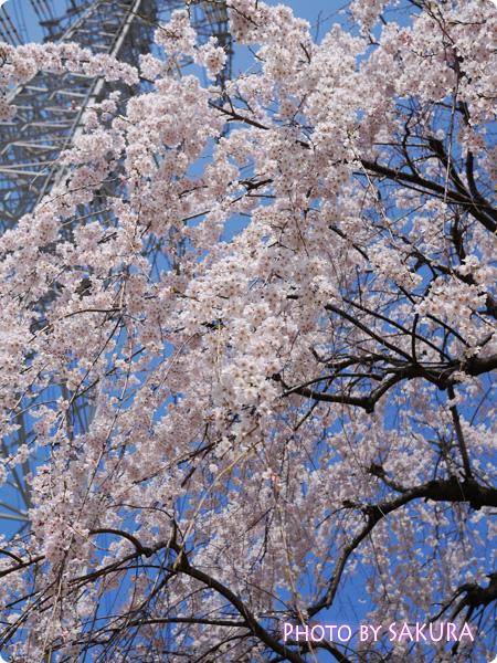 桜 LUMIX GF5 Pモード F3.2 3200 +0.7 ISO-160