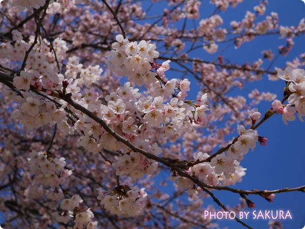 桜 LUMIX GF5 Pモード F3.5 4000 0 ISO-160