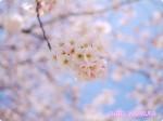 桜写真をミラーレス一眼のクリエイティブコントロールで初心者が撮ってみた