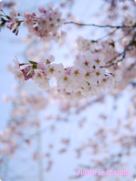 桜 LUMIX GF5 Aモード F1.7 4000 +2/3 ISO-160