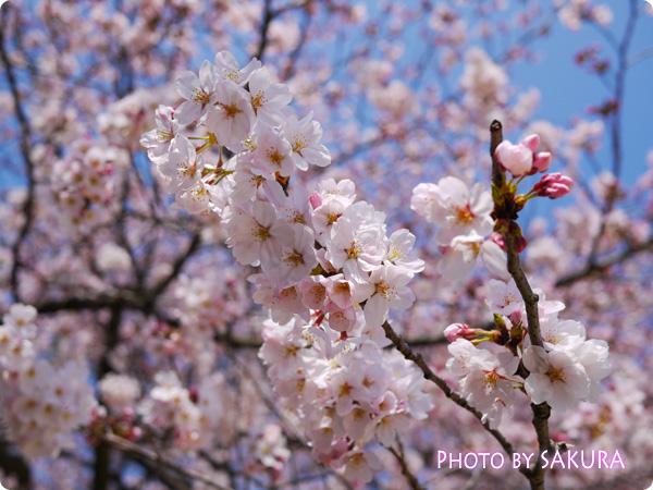 桜 LUMIX GF5 P F3.2 2500 +2/3 ISO-160