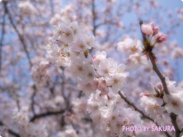桜 LUMIX GF5 ソフトフォーカス