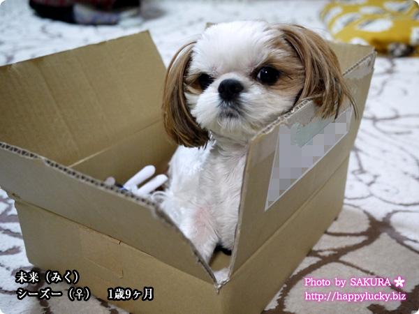 愛犬・未来(みく)シーズー♀ 11歳9ヶ月