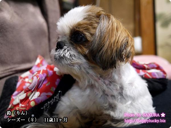 愛犬・鈴(りん)シーズー♀ 11歳11ヶ月