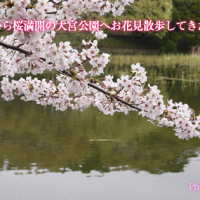 大宮氷川神社から桜満開の大宮公園へお花見散歩してきた