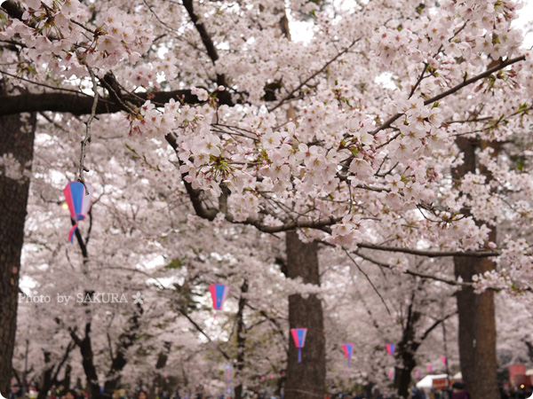 大宮公園 満開の桜 2016年4月2日 その1