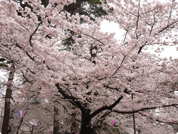 大宮公園 満開の桜 2016年4月2日 その2