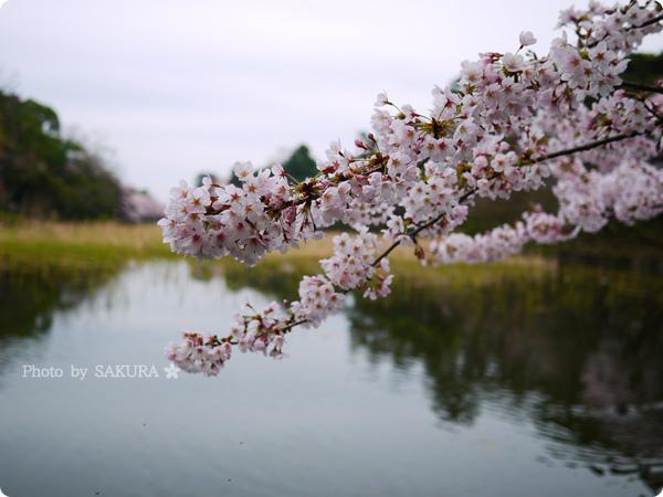 大宮公園 満開の桜と池 2016年4月2日 その1